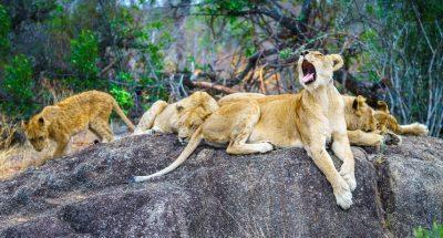 leeuwenbehang